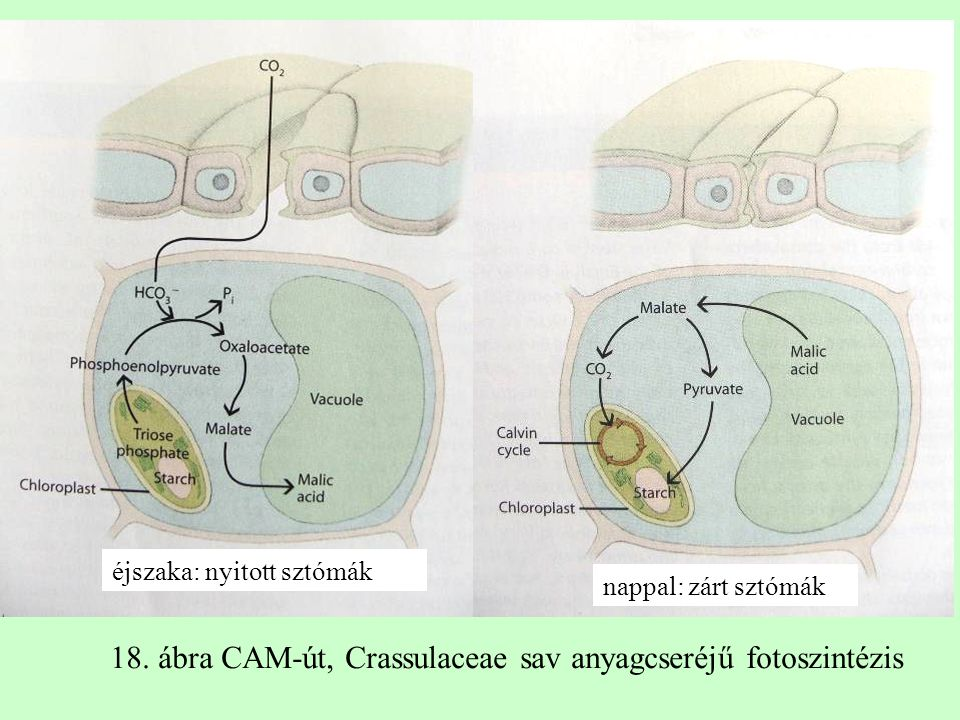 18. ábra CAM-út, Crassulaceae sav anyagcseréjű fotoszintézis
