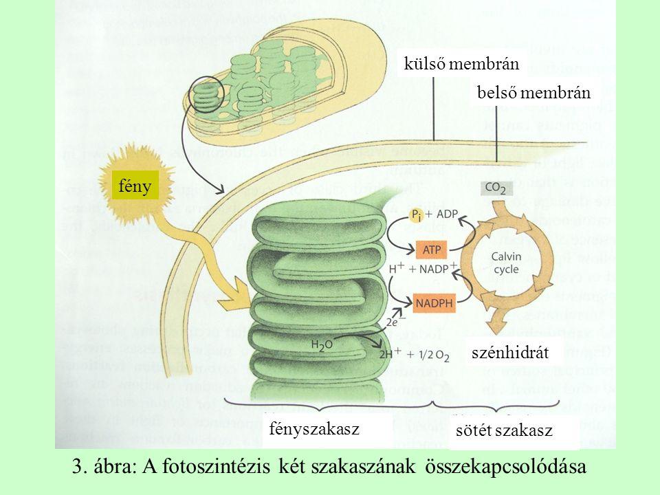 3. ábra: A fotoszintézis két szakaszának összekapcsolódása
