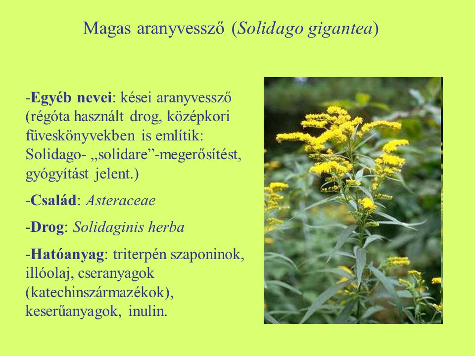 Magas aranyvessző (Solidago gigantea)