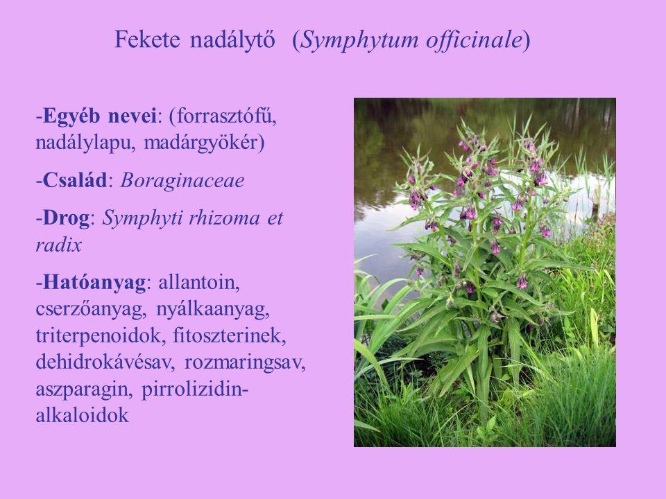Fekete nadálytő (Symphytum officinale)