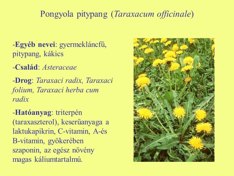 Pongyola pitypang (Taraxacum officinale)