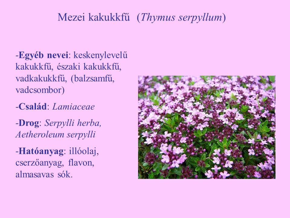 Mezei kakukkfű (Thymus serpyllum)