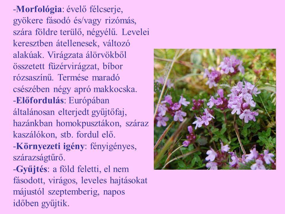 -Morfológia: évelő félcserje, gyökere fásodó és/vagy rizómás, szára földre terülő, négyélű. Levelei keresztben átellenesek, változó alakúak. Virágzata álörvökből összetett füzérvirágzat, bíbor rózsaszínű. Termése maradó csészében négy apró makkocska.