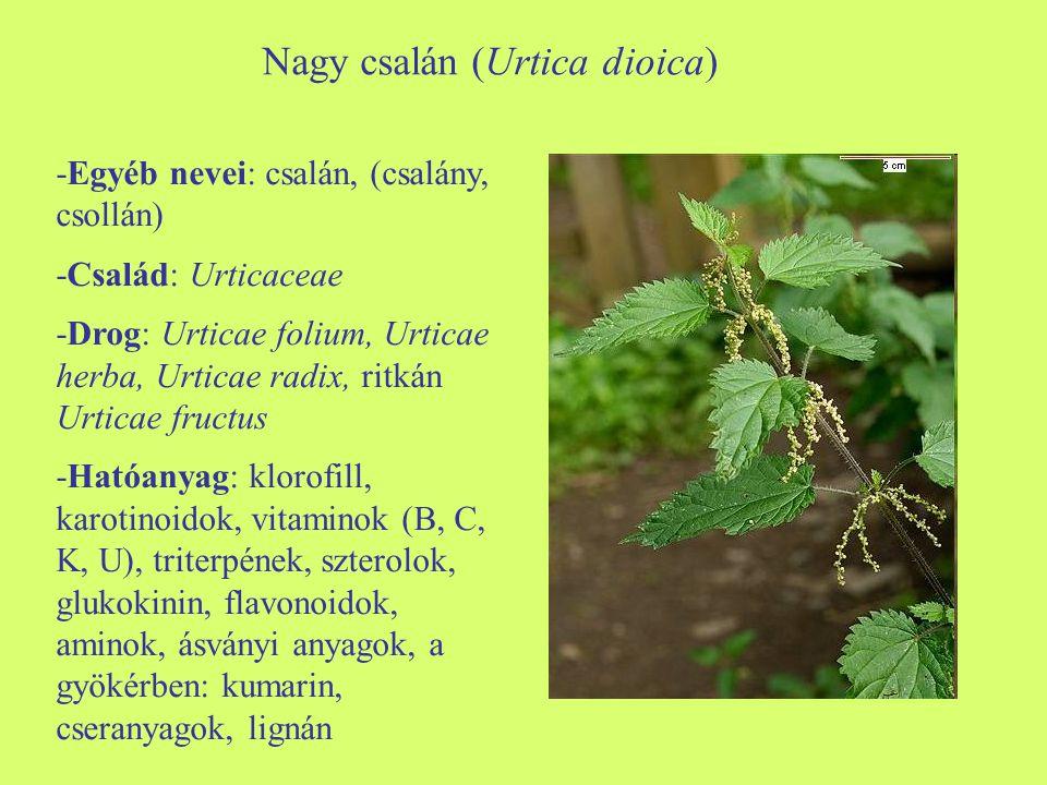 Nagy csalán (Urtica dioica)