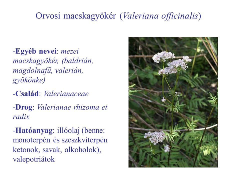 Orvosi macskagyökér (Valeriana officinalis)