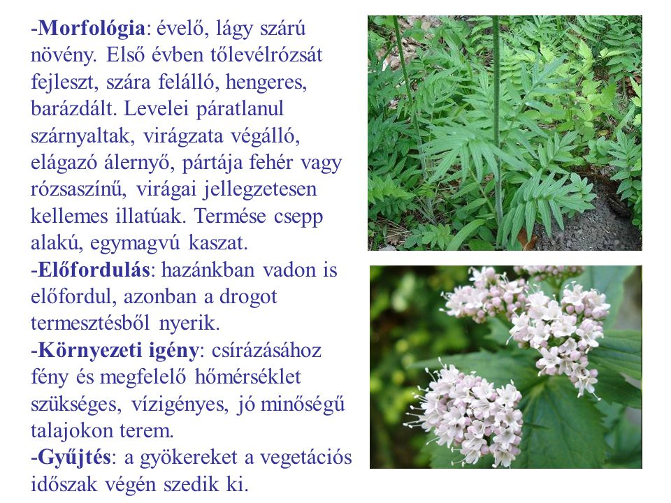 -Morfológia: évelő, lágy szárú növény