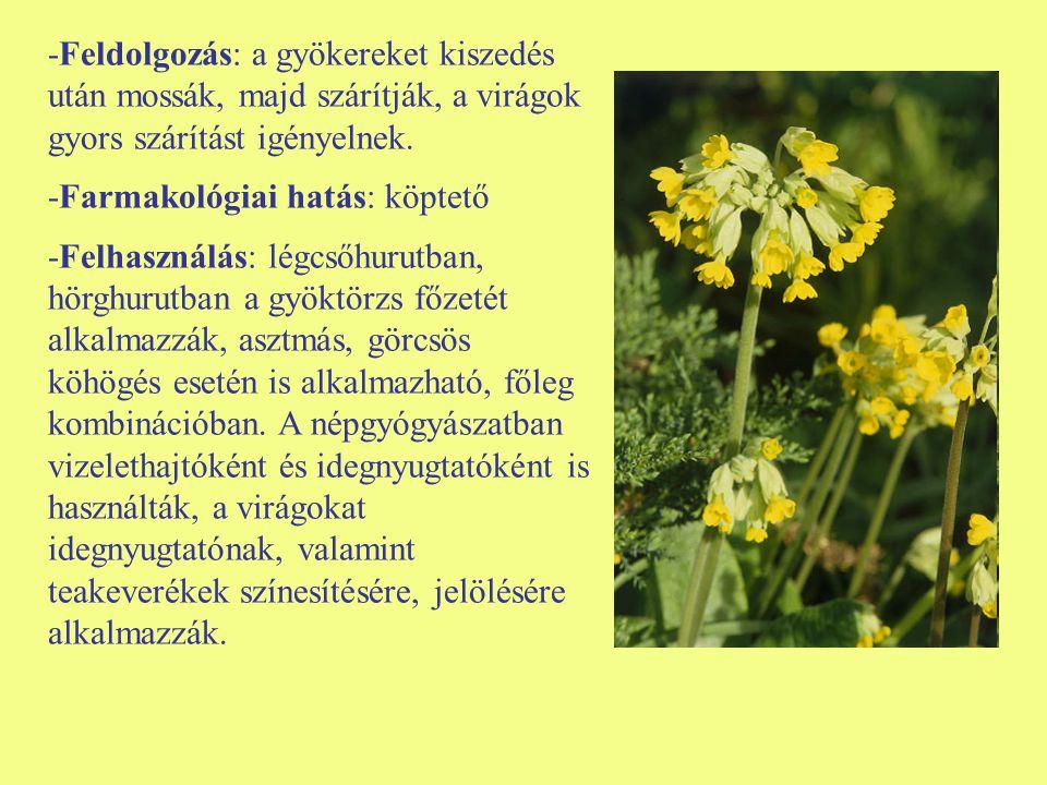 -Feldolgozás: a gyökereket kiszedés után mossák, majd szárítják, a virágok gyors szárítást igényelnek.