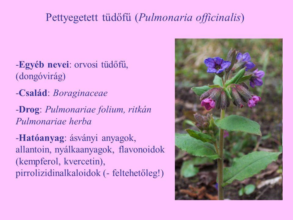Pettyegetett tüdőfű (Pulmonaria officinalis)