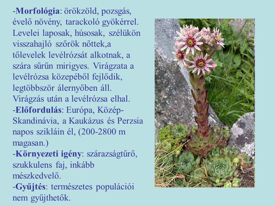 -Morfológia: örökzöld, pozsgás, évelő növény, tarackoló gyökérrel