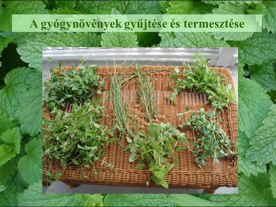 A gyógynövények gyűjtése és termesztése
