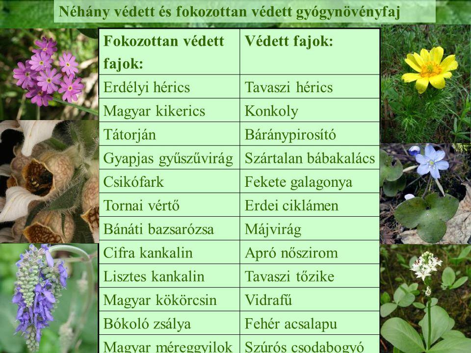 Néhány védett és fokozottan védett gyógynövényfaj