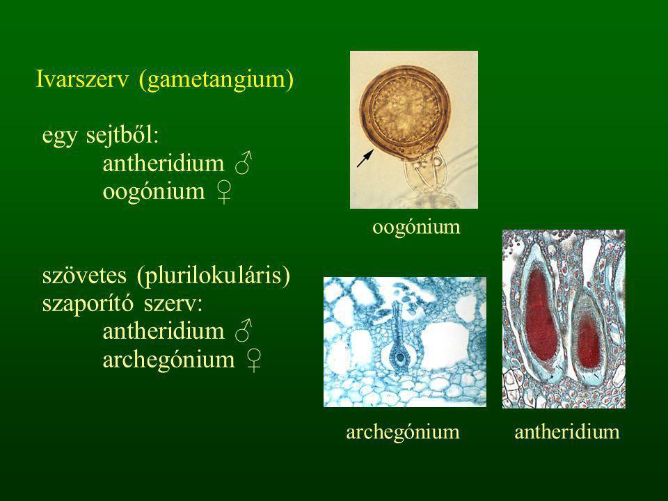 Ivarszerv (gametangium) egy sejtből: antheridium ♂ oogónium ♀
