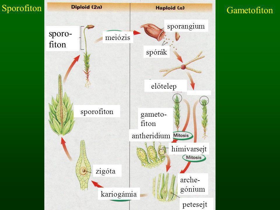 Sporofiton Gametofiton sporo-fiton sporangium meiózis spórák előtelep