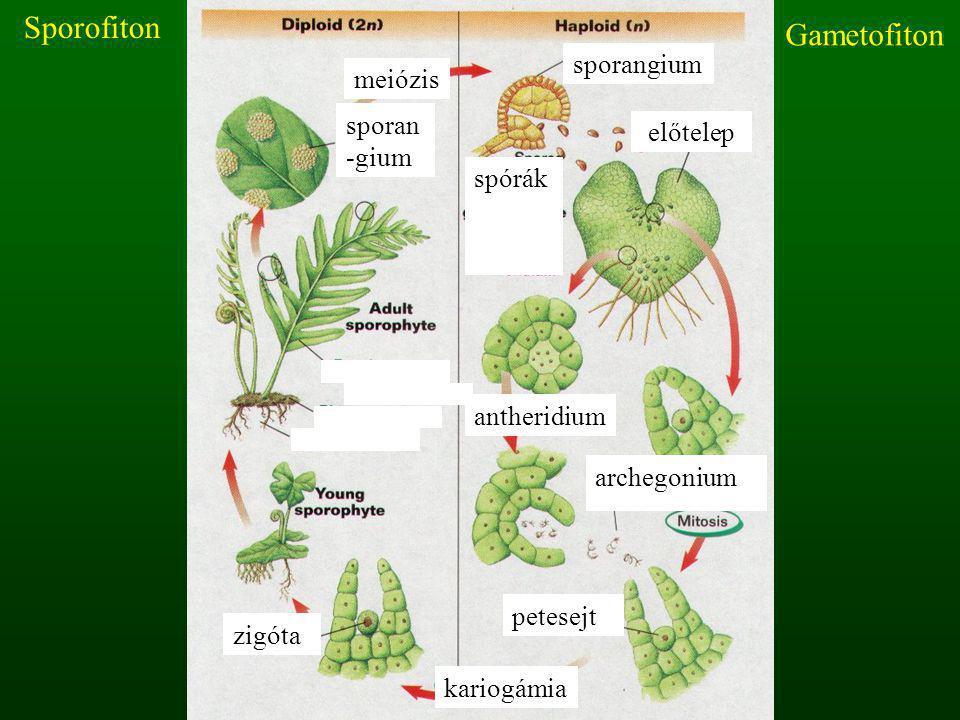 Sporofiton Gametofiton sporangium meiózis sporan-gium előtelep spórák