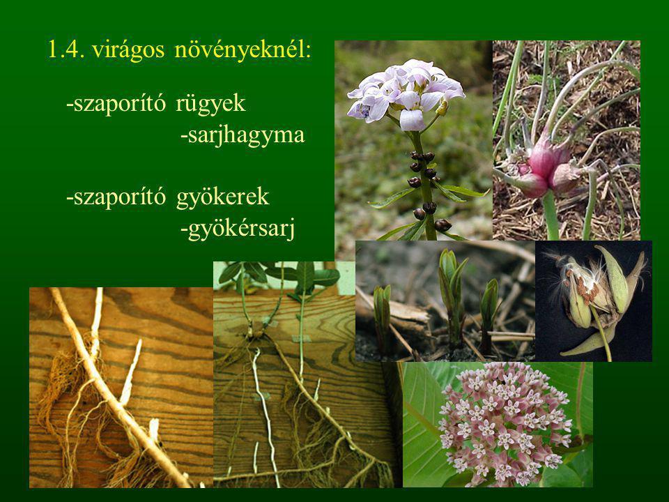 1.4. virágos növényeknél: -szaporító rügyek -sarjhagyma -szaporító gyökerek -gyökérsarj