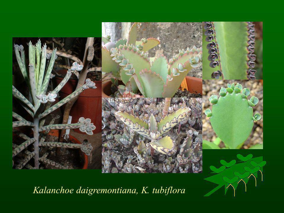 Kalanchoe daigremontiana, K. tubiflora