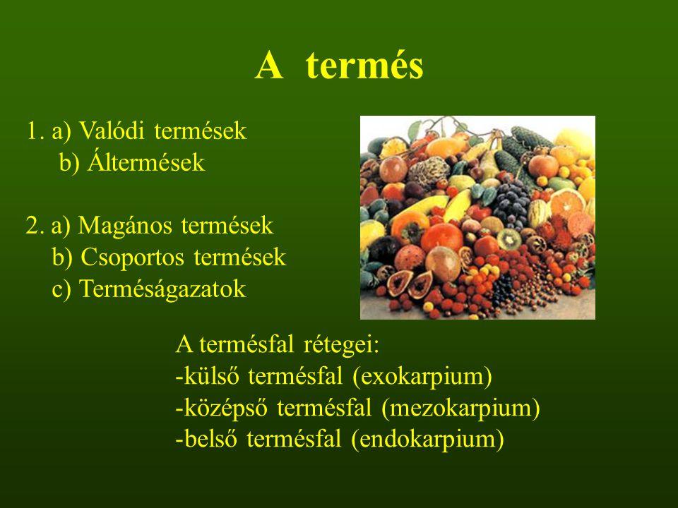 A termés 1. a) Valódi termések b) Áltermések a) Magános termések