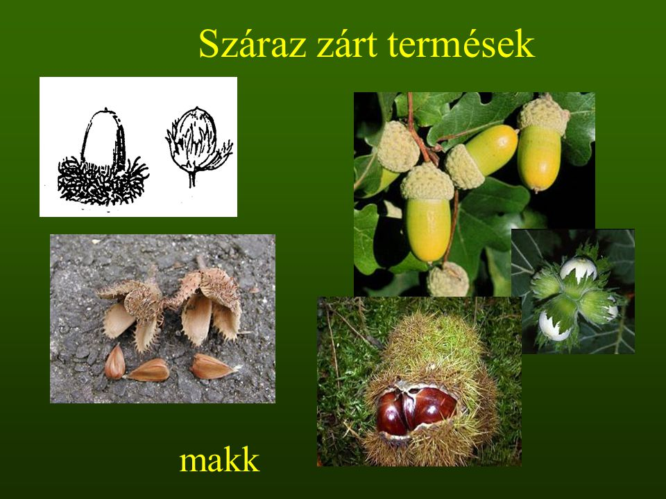 Száraz zárt termések makk