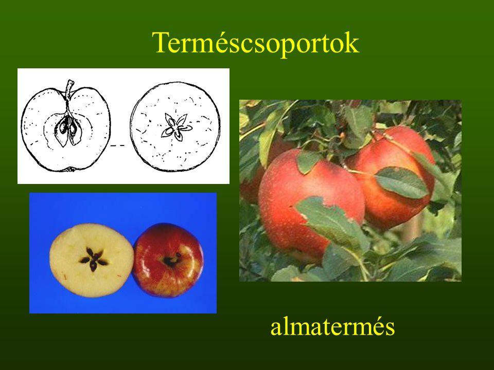 Terméscsoportok almatermés