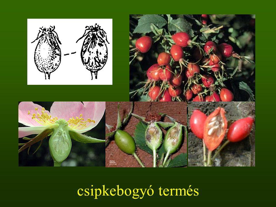 csipkebogyó termés