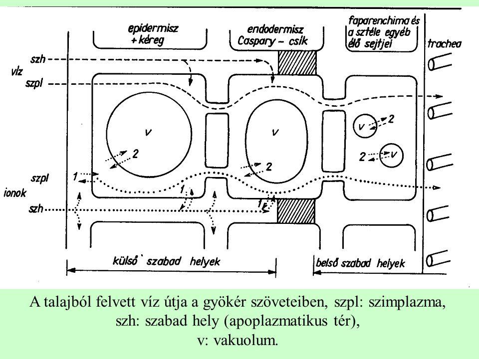 A talajból felvett víz útja a gyökér szöveteiben, szpl: szimplazma, szh: szabad hely (apoplazmatikus tér),