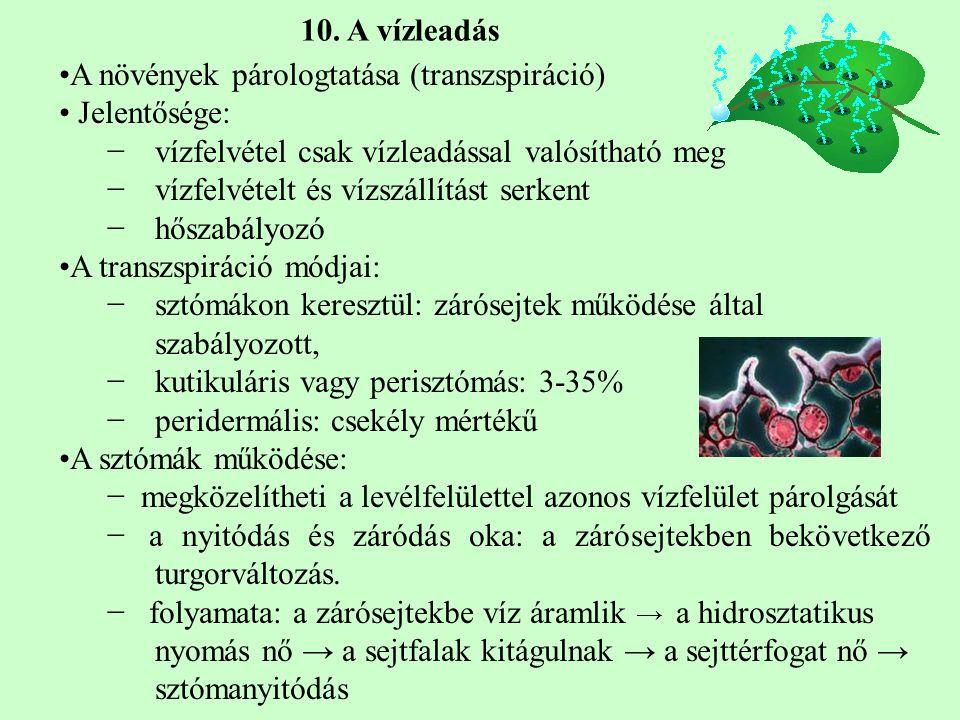 10. A vízleadás A növények párologtatása (transzspiráció) Jelentősége: vízfelvétel csak vízleadással valósítható meg.