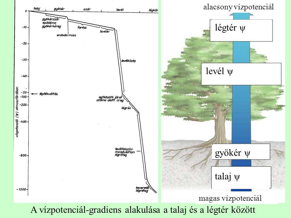 A vízpotenciál-gradiens alakulása a talaj és a légtér között