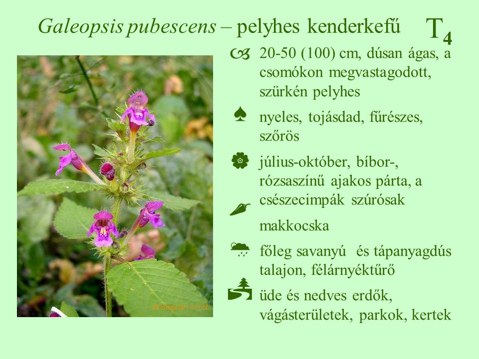 Galeopsis pubescens – pelyhes kenderkefű