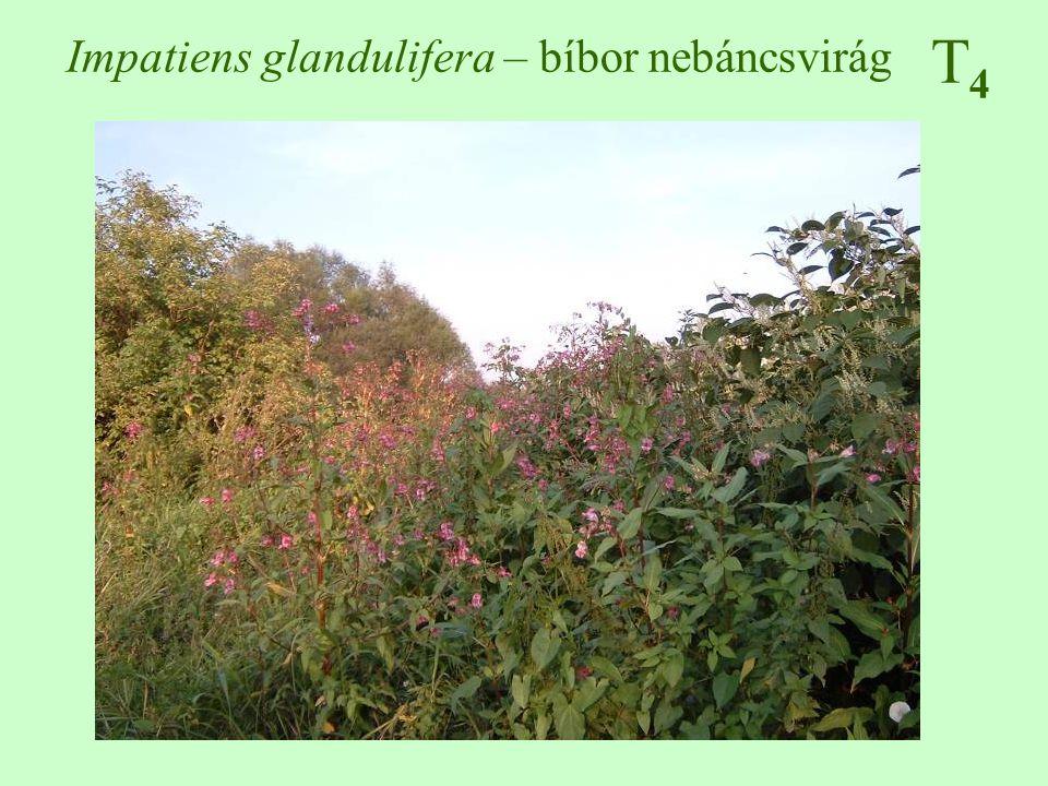 Impatiens glandulifera – bíbor nebáncsvirág