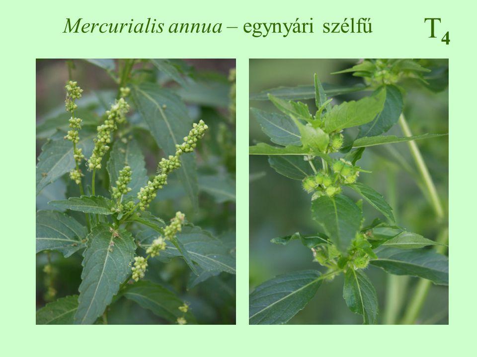 Mercurialis annua – egynyári szélfű