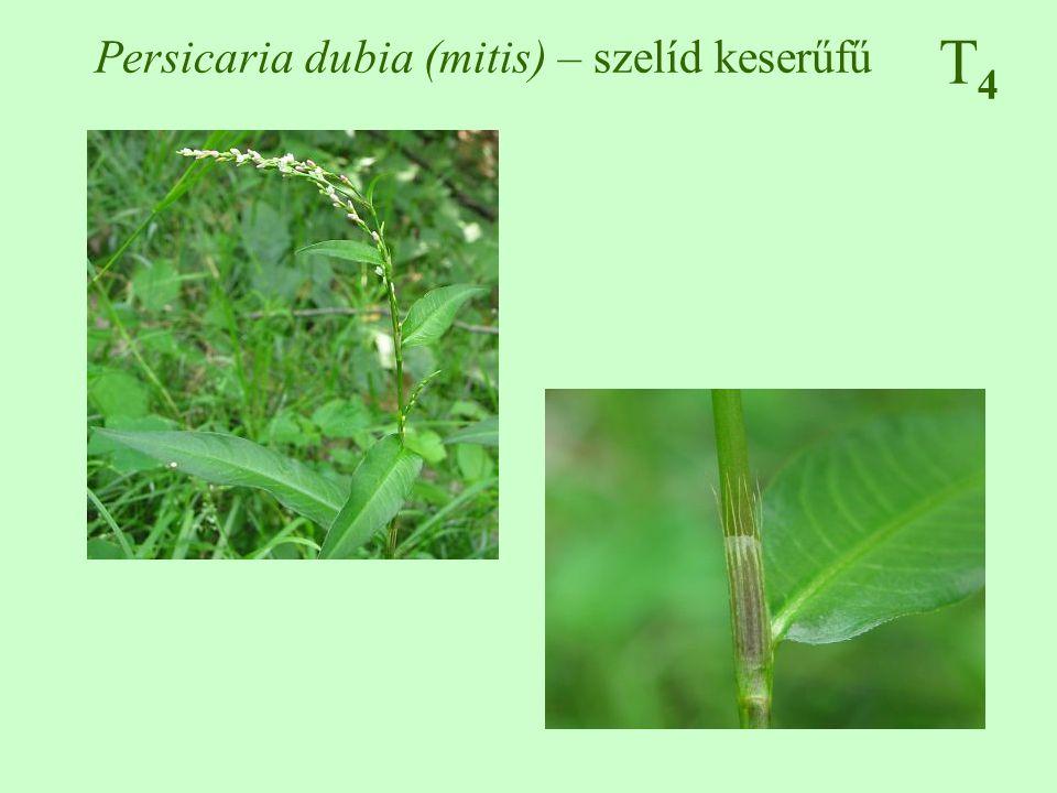 Persicaria dubia (mitis) – szelíd keserűfű