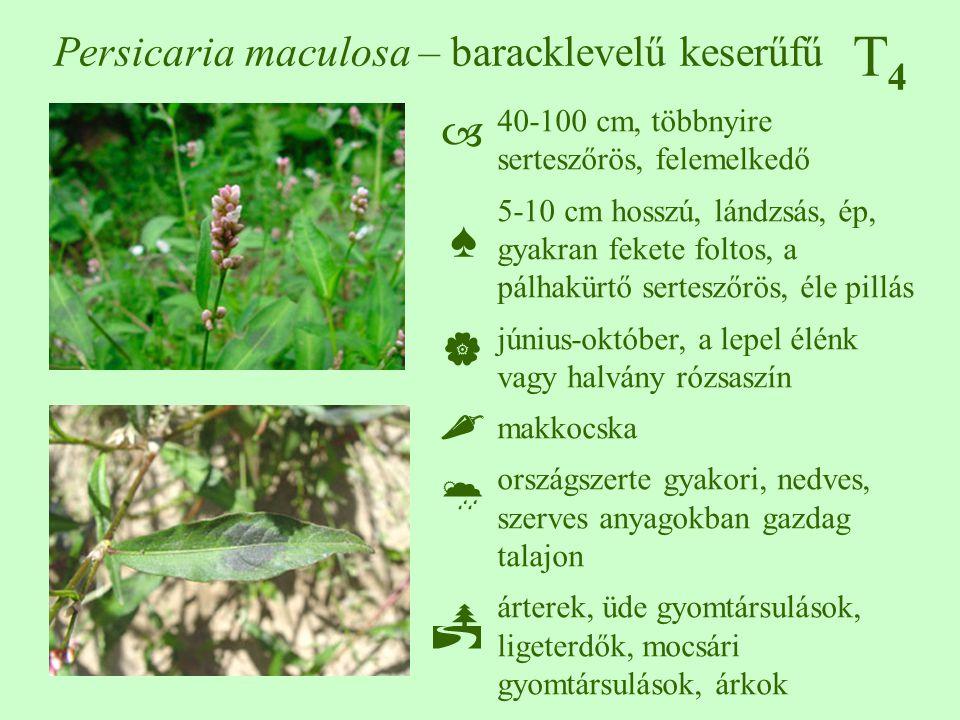 Persicaria maculosa – baracklevelű keserűfű