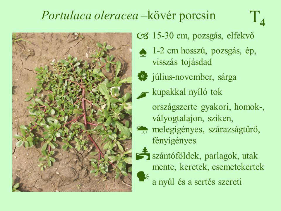 Portulaca oleracea –kövér porcsin