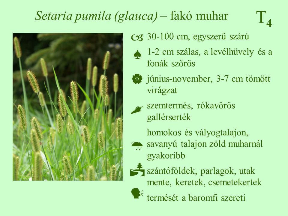 Setaria pumila (glauca) – fakó muhar