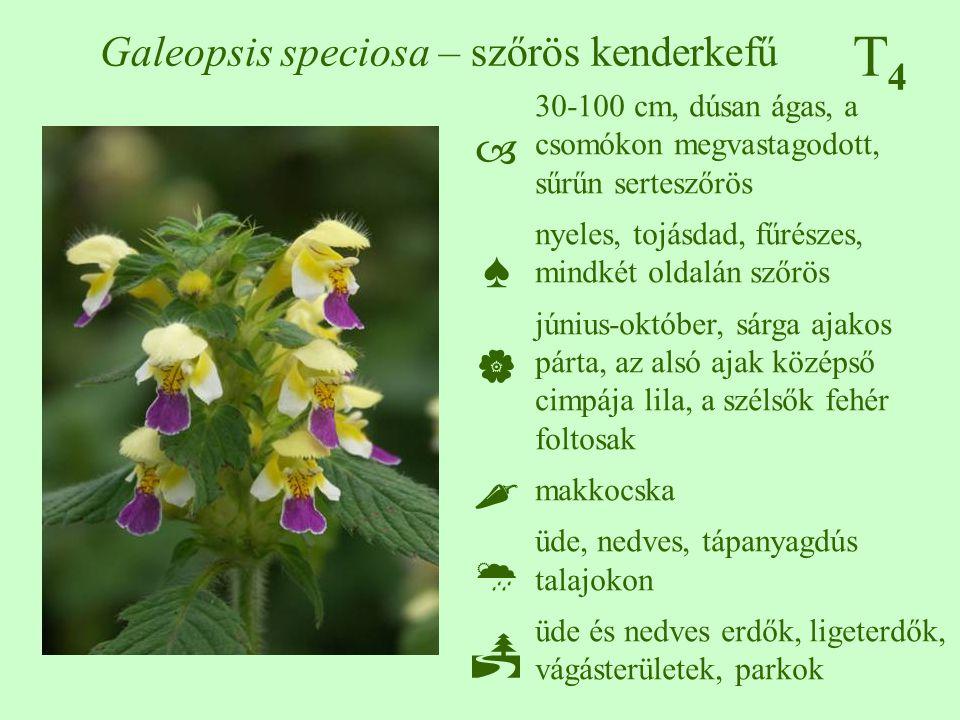 Galeopsis speciosa – szőrös kenderkefű