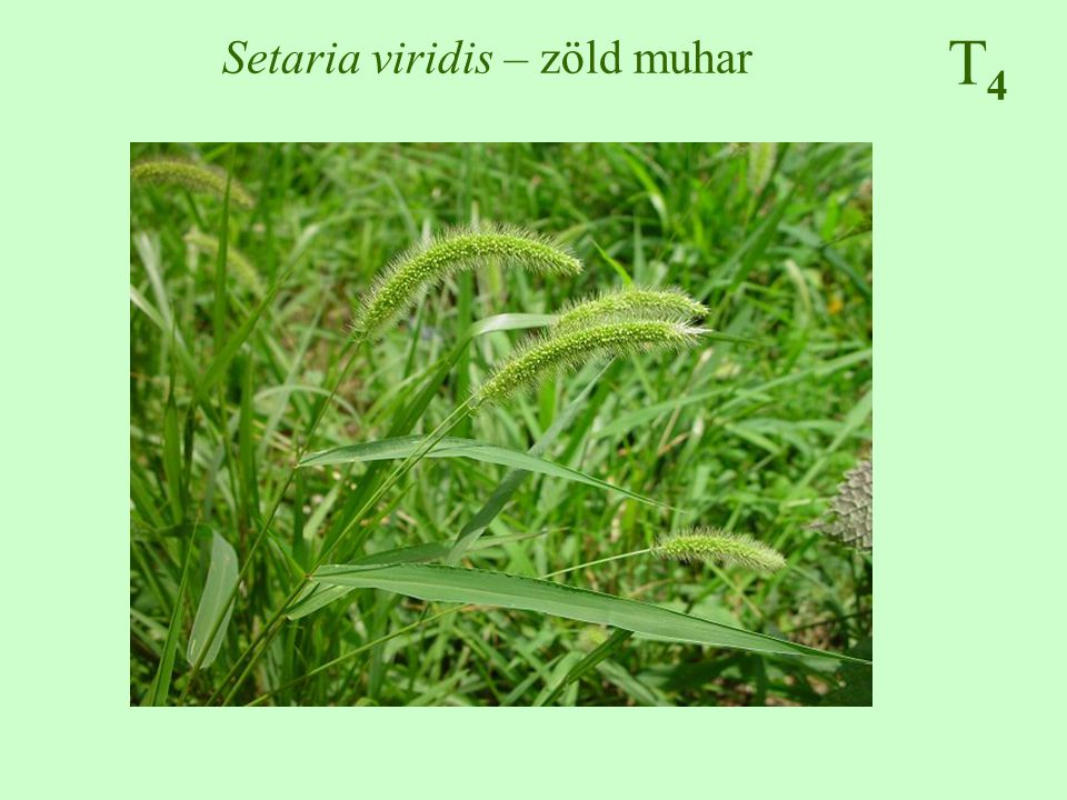 Setaria viridis – zöld muhar