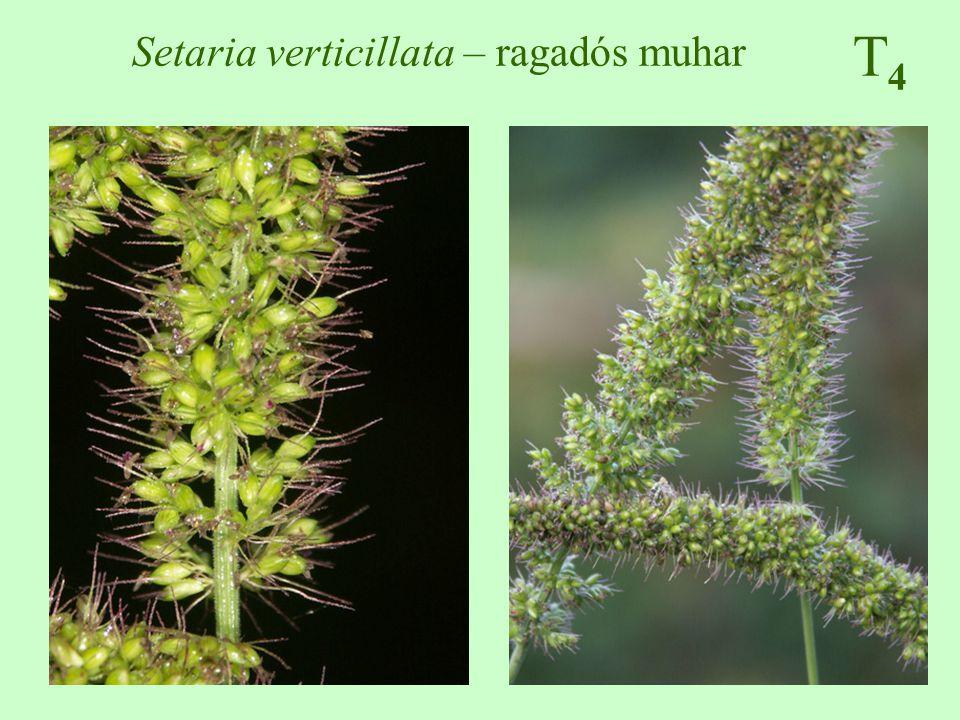Setaria verticillata – ragadós muhar