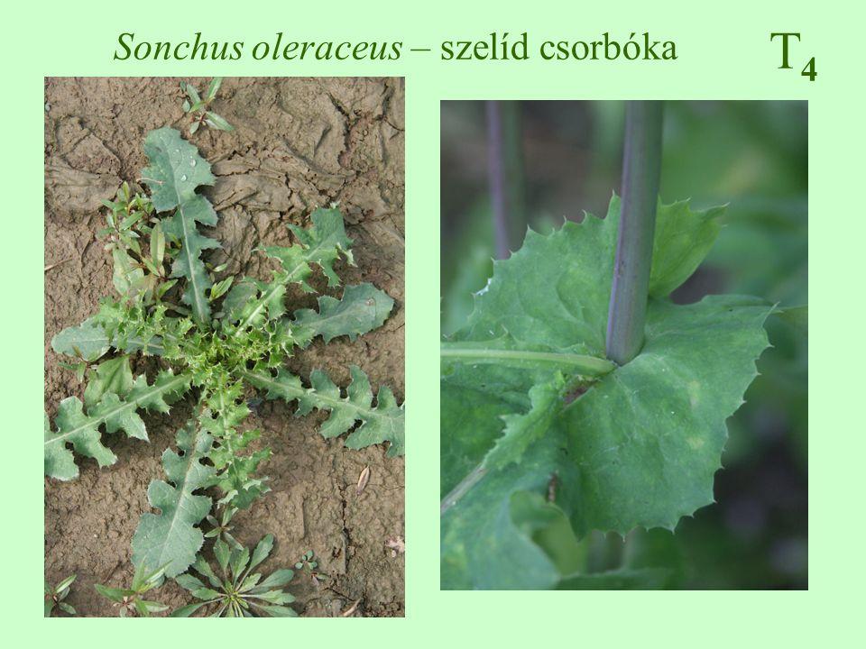 Sonchus oleraceus – szelíd csorbóka