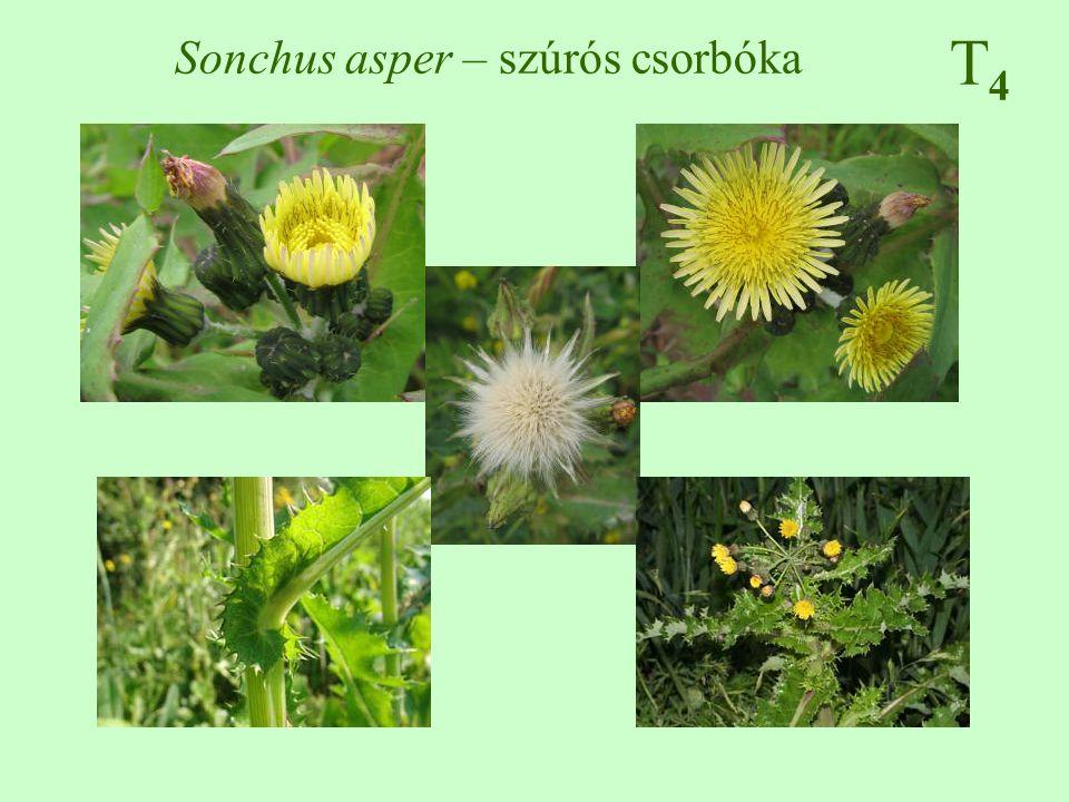 Sonchus asper – szúrós csorbóka