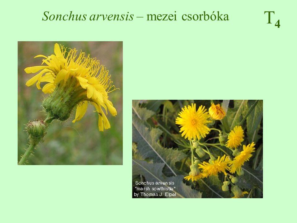 Sonchus arvensis – mezei csorbóka