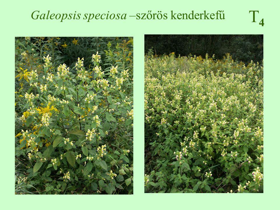 Galeopsis speciosa –szőrös kenderkefű