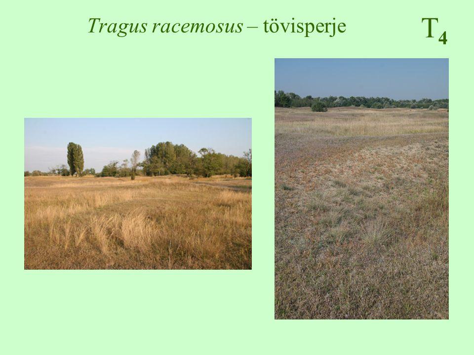 Tragus racemosus – tövisperje