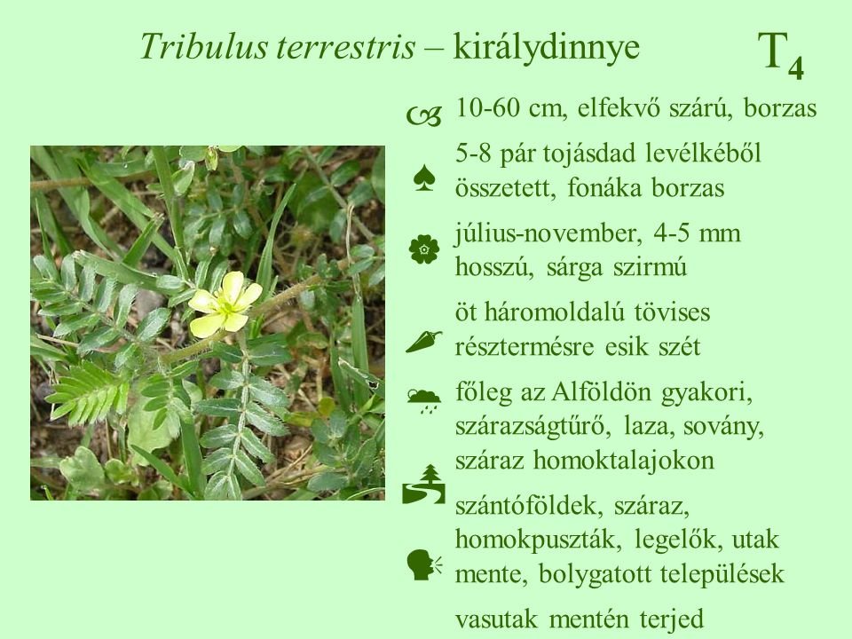 Tribulus terrestris – királydinnye