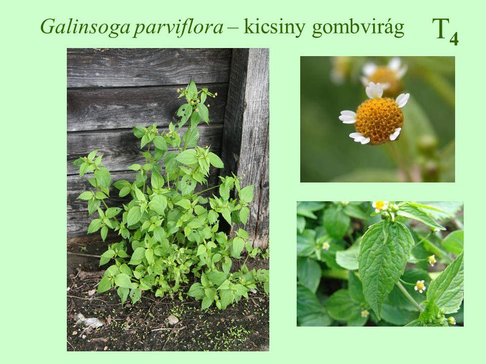 Galinsoga parviflora – kicsiny gombvirág