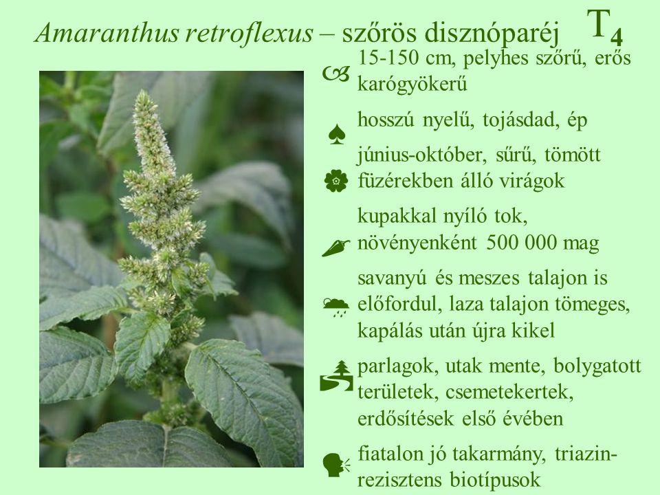Amaranthus retroflexus – szőrös disznóparéj