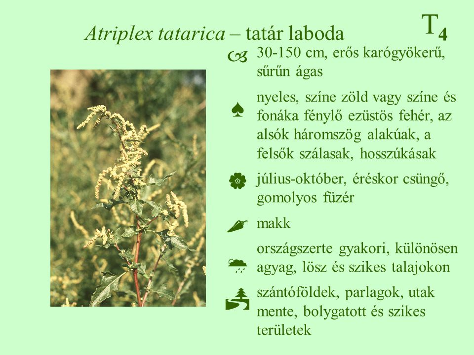 Atriplex tatarica – tatár laboda
