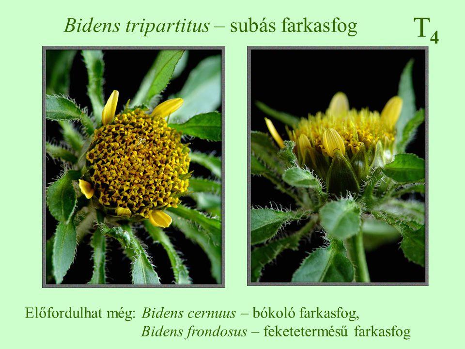 Bidens tripartitus – subás farkasfog
