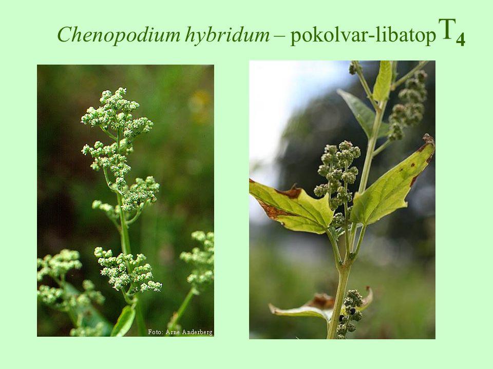 Chenopodium hybridum – pokolvar-libatop