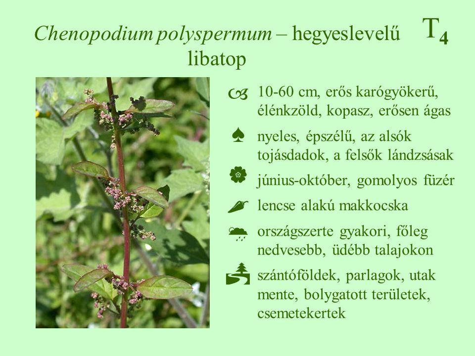 Chenopodium polyspermum – hegyeslevelű libatop