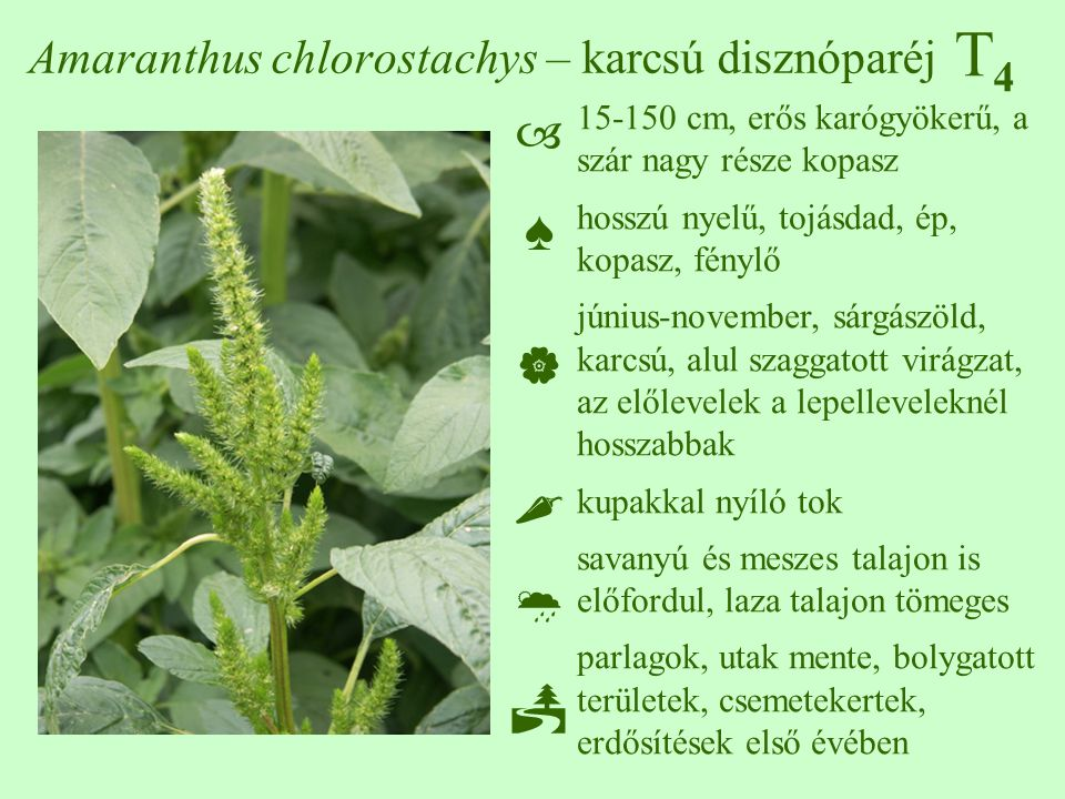 Amaranthus chlorostachys – karcsú disznóparéj